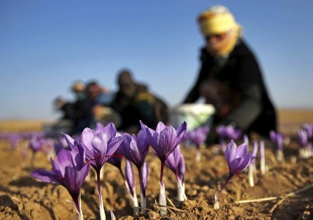 کاشت و تولید زعفران با کیفیت | شرکت صدف پک