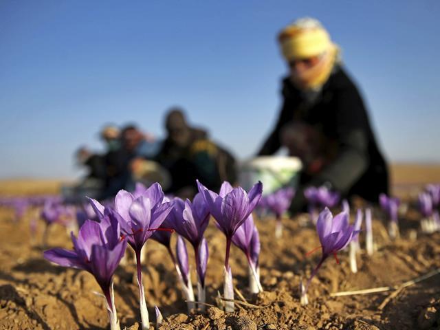 کاشت و تولید زعفران با کیفیت   شرکت صدف پک