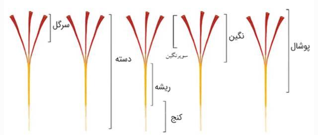 شناخت قسمت های مختلف زعفران در تشخیص اصل بودن آن | شرکت صدف پک