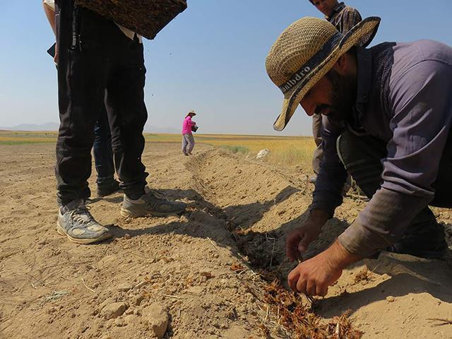 کاشت پیاز با کیفیت زعفران | شرکت صدف پک