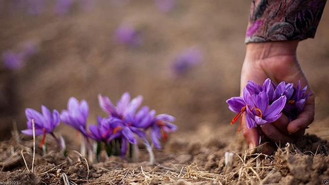 اهمیت زمان چیدن زعفران در کیفیت آن | شرکت صدف پک