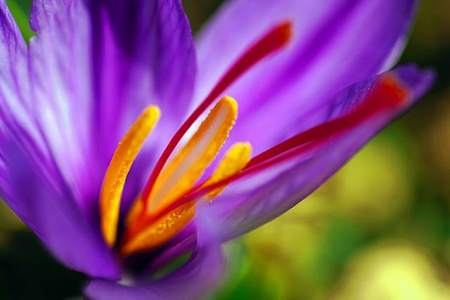گل زعفران | تجارت جهانی زعفران | شرکت صدف پک