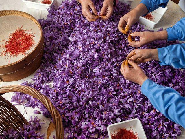اوسک کلید شناخته شدن ایران در بازار جهانی زعفران | شرکت صدف پک