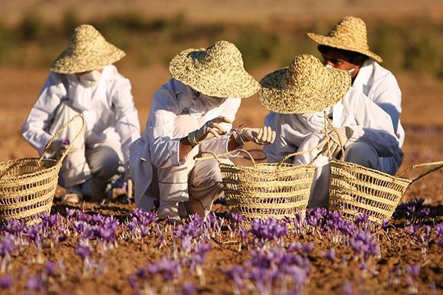 خرید زعفران صادراتی از کشاورز | شرکت صدف پک