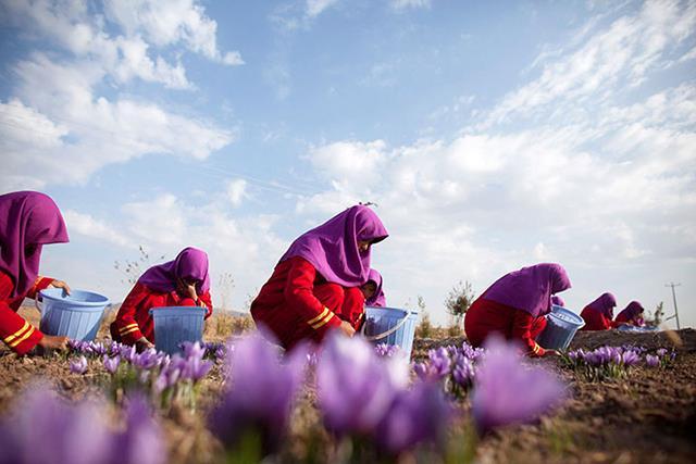 برداشت زعفران برای صادرات | شرکت صدف پک