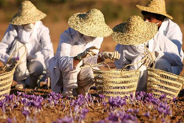 برداشت زعفران برای صادرات   شرکت صدف پک