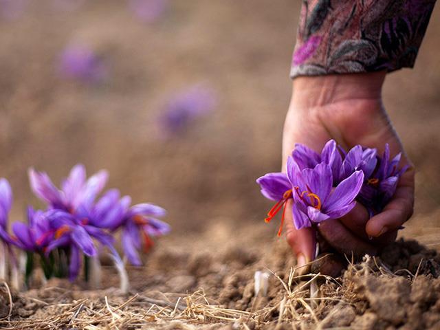 خرید زعفران صادراتی از کشاورز   شرکت صدف پک