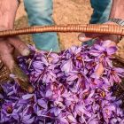 کشمیر تولید کننده بهترین زعفران جهان| شرکت صدف پک