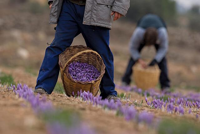 برداشت گل زعفران | شرکت صدف پک