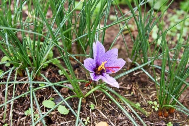 گل زعفران در مزارع ایران | شرکت صدف پک