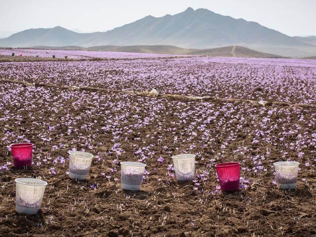 تولید زعفران در هیماچال پرادش | شرکت صدف پک