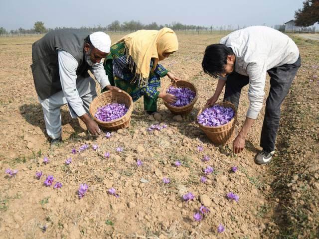 برداشت زعفران در هندوستان | شرکت صدف پک