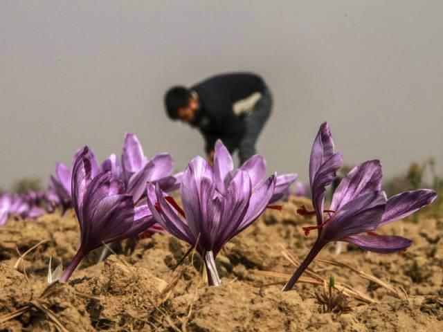 کشت زعفران در هندوستان | شرکت صدف پک