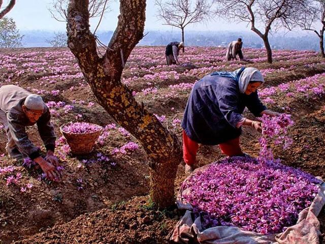 معرفی مناطق کشت زعفران در هندوستان | شرکت صدف پک